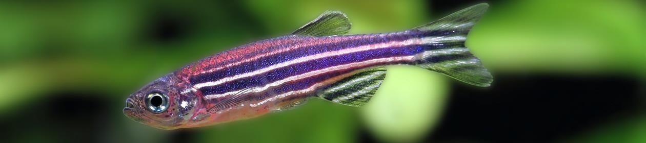 sebrafisk