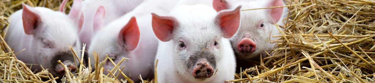 faggruppe husdyr produksjon og velferd - grisunger